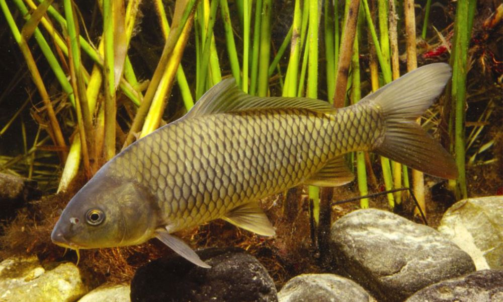 Carpa (Cyprinus carpio)