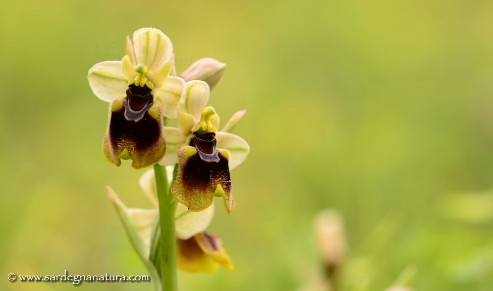 Ofride di Norman (Ophrys normanii)
